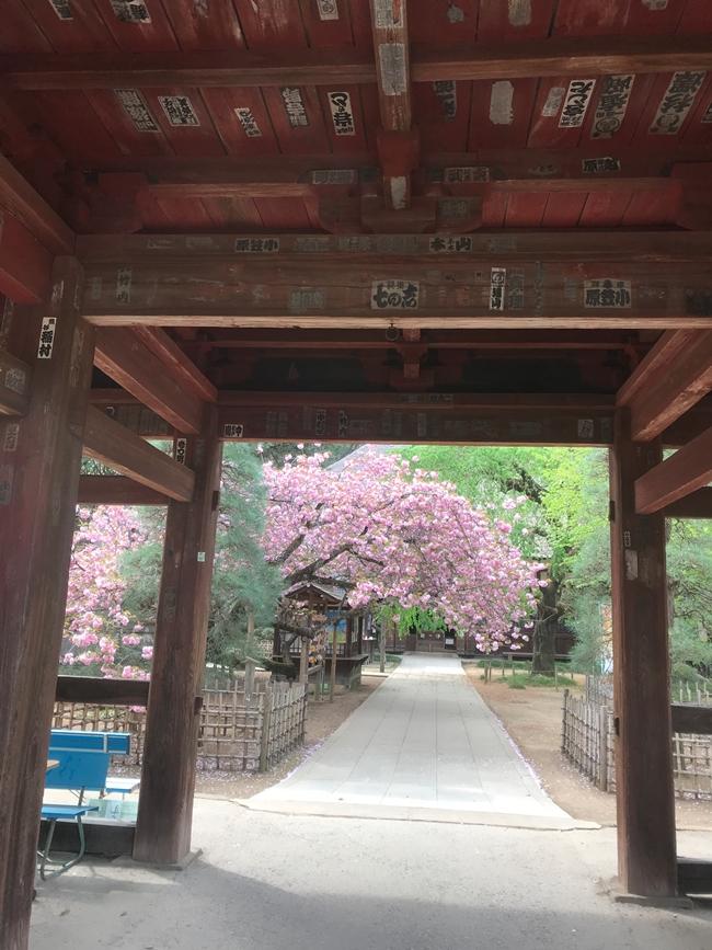 茂林寺の桜