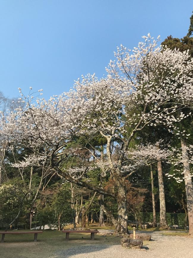 伊勢神宮の桜