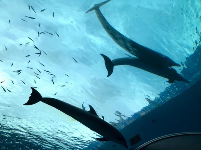 八景島シーパラダイス ドルフィンファンタジーでイルカを下から見たところ
